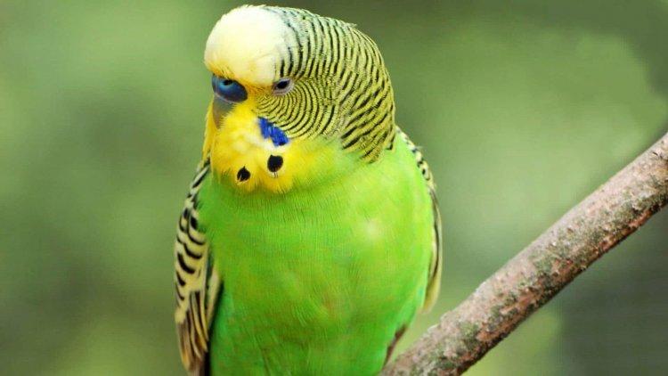 Açık Yeşil Muhabbet Kuşları