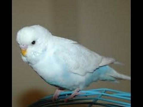 Gri Kanatlı Gök Mavisi Muhabbet Kuşu