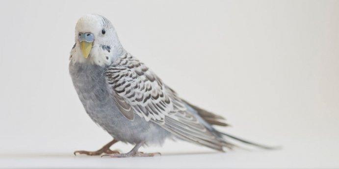 Gri Muhabbet Kuşu