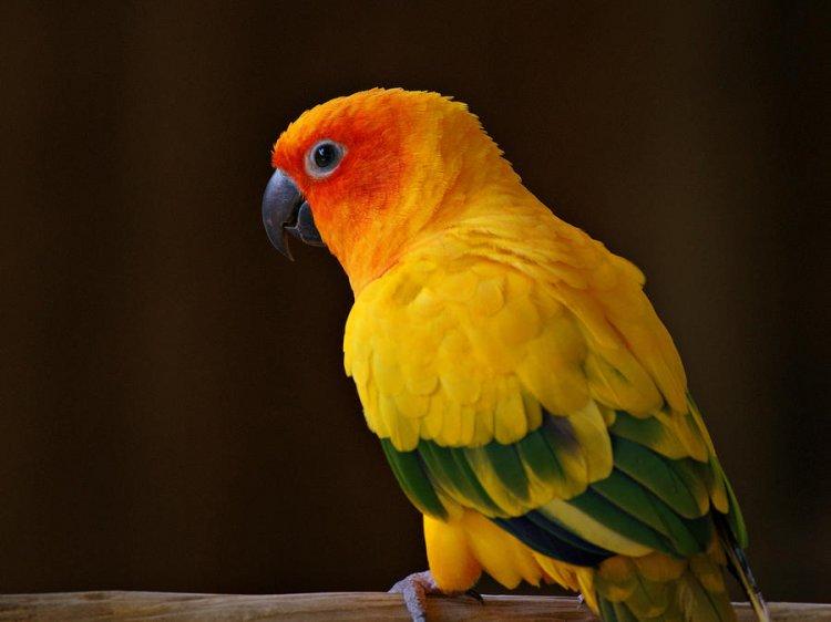 Güneş Konur Papağanı