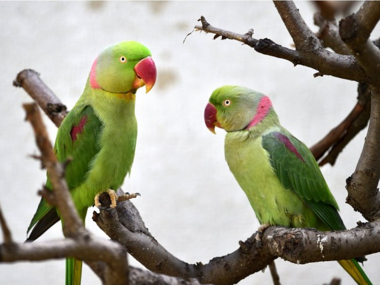 İskender Papağanı (Aleksander)