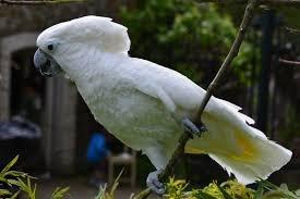 Kakadu Papağanları