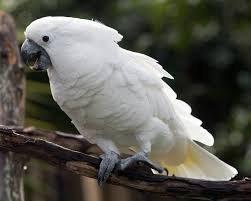 Kakadu Papağanı Özellikleri