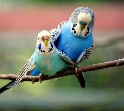 Muhabbet Kuşu Üretimi (Çiftleştirme)