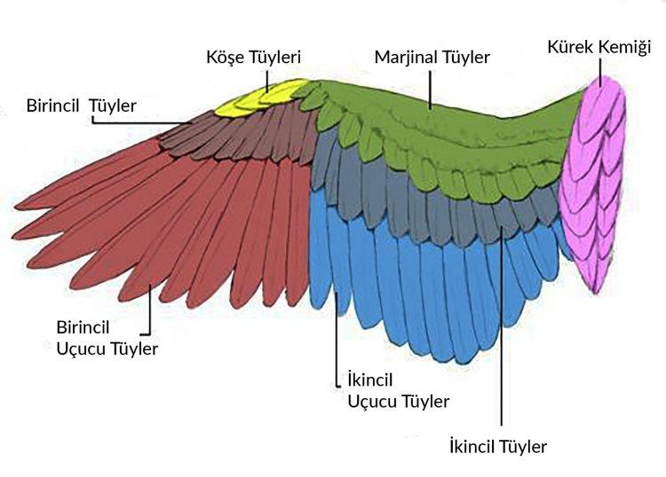 Kuşlarda Kanat Ayarı Yapılmalı mı?
