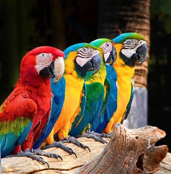 Macaw Papağanları Hakkında Bazı Bilgiler