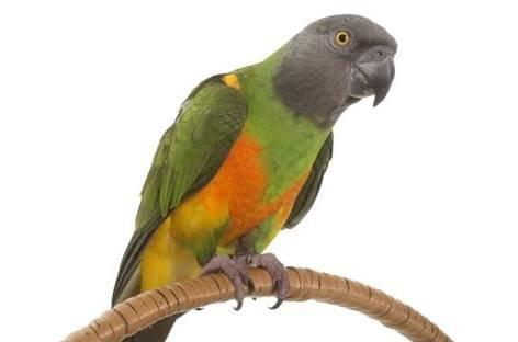 Senagal Papağanı Özellikleri