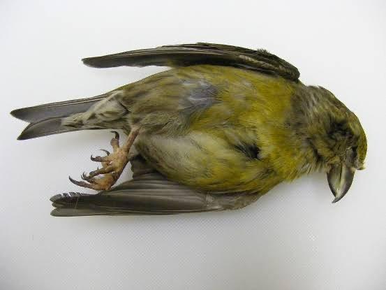 Kuş Hastalıkları ve Belirtileri