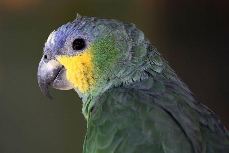 Papağan Parazitleri