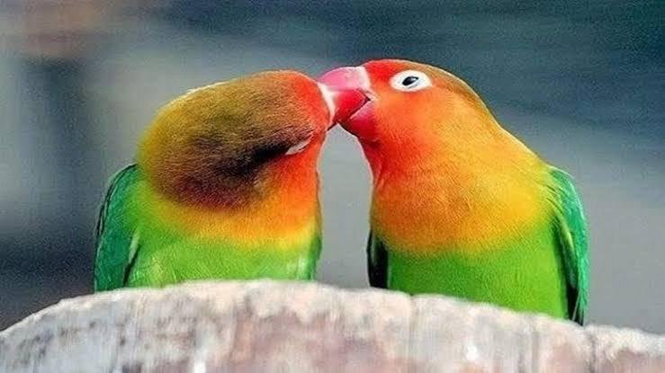 Papağan Üretim Sorunları