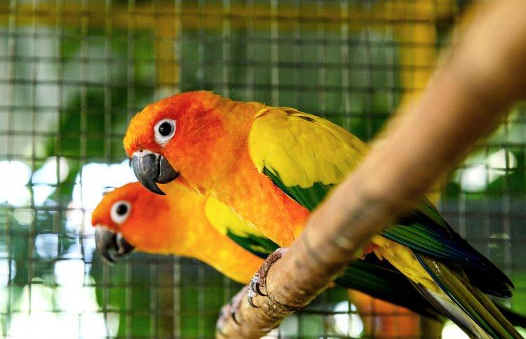 Konur Papağanlarının Çiftleşme Davranışı ve Eş Seçimi?